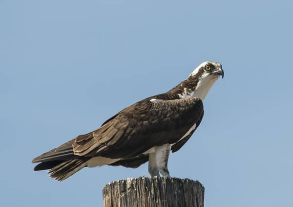 Photograph - Osprey Resting by Loree Johnson