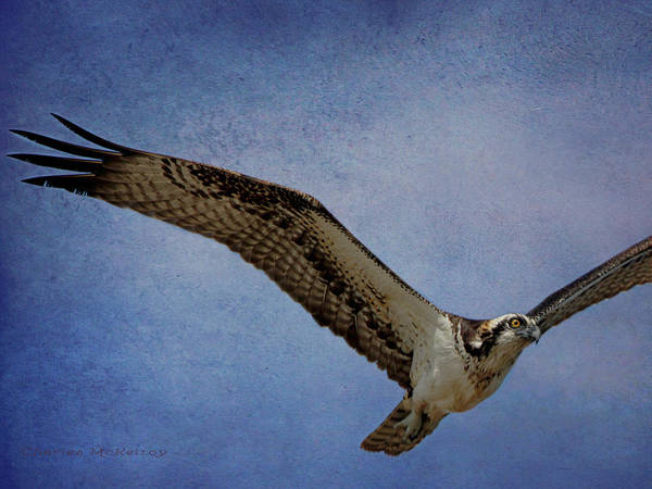 Photograph - Osprey Searching For Prey by Charles McKelroy