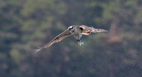 Photograph - Osprey Shaking by Peter Walkden