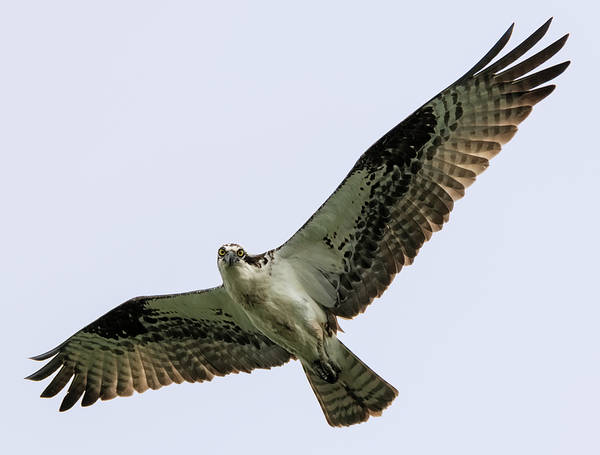 Photograph - Osprey Smiling For The Camera by Loree Johnson