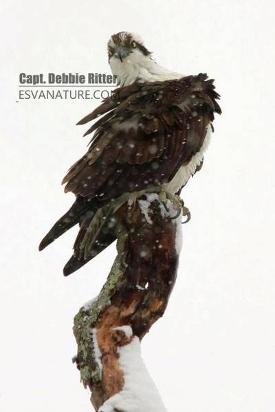Photograph - Osprey Snow 4573 by Captain Debbie Ritter