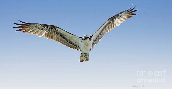 Photograph - Osprey Soar Search by Deborah Benoit