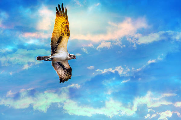 Photograph - Osprey Soaring High Against A Beautiful Sky by Patrick Wolf