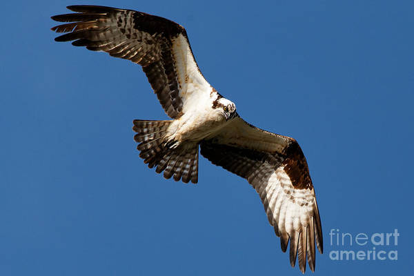 Photograph - Osprey - Soaring by Sue Harper