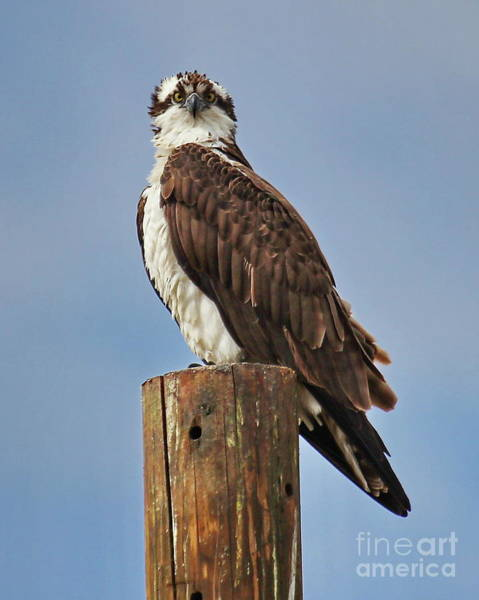 Wall Art - Photograph - Osprey Staredown by Tom Cheatham