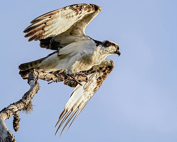 Photograph - Osprey Taking Flight by Robert Mitchell