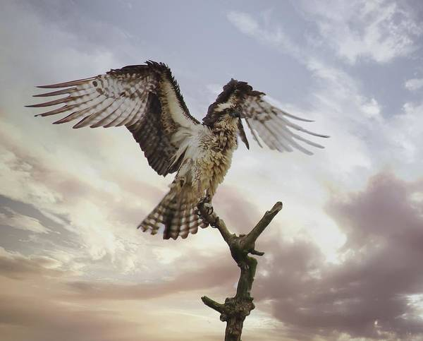 Photograph - Osprey Wing Spread by Buddy Scott