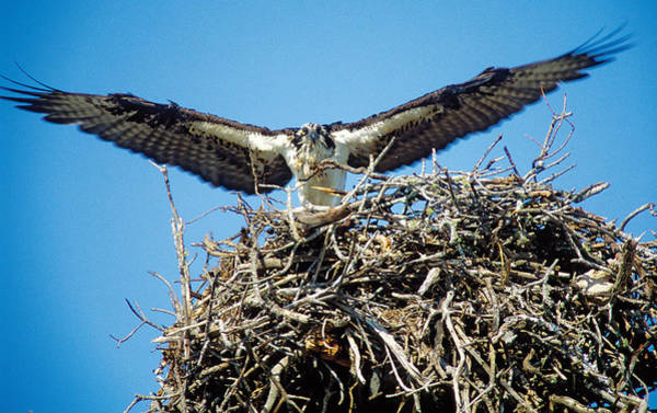 Photograph - Osprey Wingspan by Steve Somerville