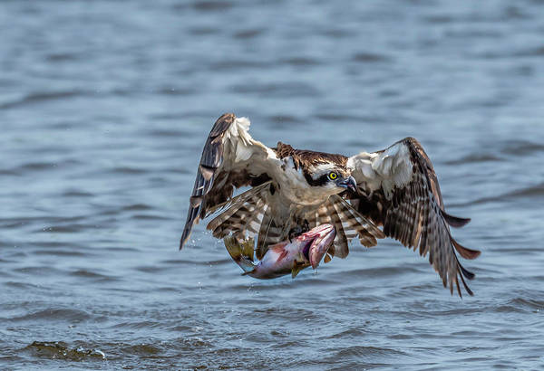 Photograph - Osprey With Catch 9108 by Donald Brown