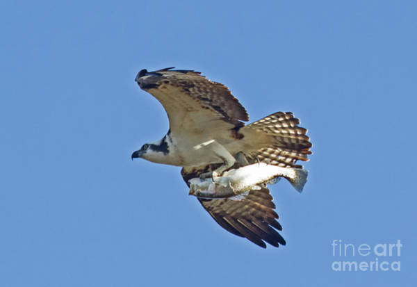 Wall Art - Photograph - Osprey With Catch by Michelle Tinger