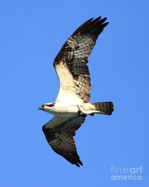 Photograph - Osprey With Fish In Flight by Wingsdomain Art and Photography