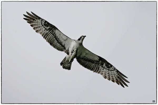 Photograph - Osprey With Fish by John Meader