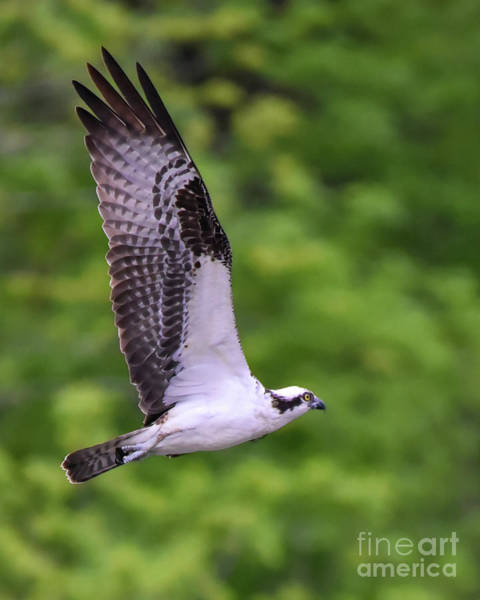 Photograph - Osprey With Wings Extended by Cynthia Staley