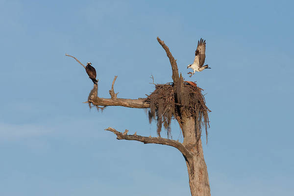 Photograph - Ospreys And Nest by Paul Rebmann