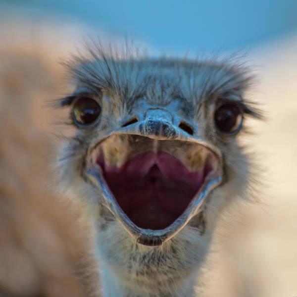 Photograph - Ostrich Big Mouth by Dan McManus