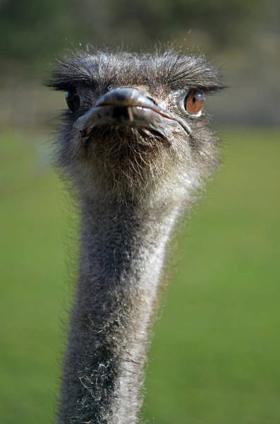 Wall Art - Photograph - Ostrich What A Face by Laura Mountainspring