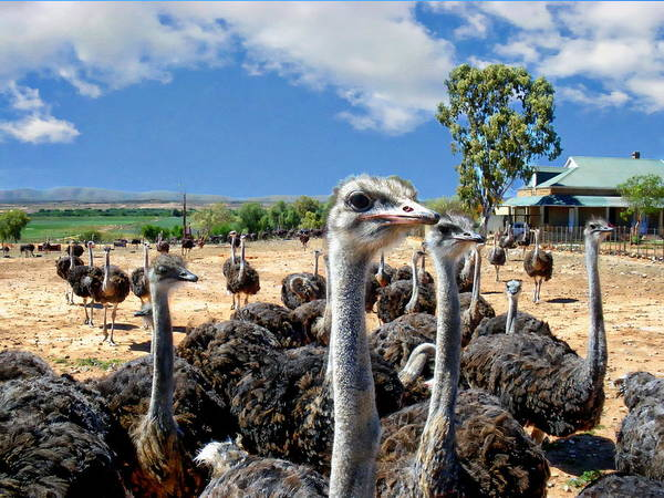 Photograph - Ostriches In The Wild by Anthony Dezenzio