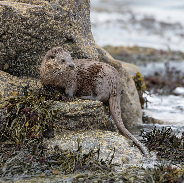 Photograph - Otter Beside Loch by Peter Walkden