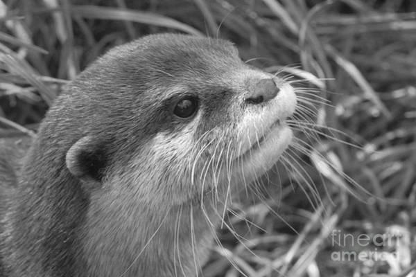Aonyx Cinerea Photograph - Otter Close Up Bw by MSVRVisual Rawshutterbug