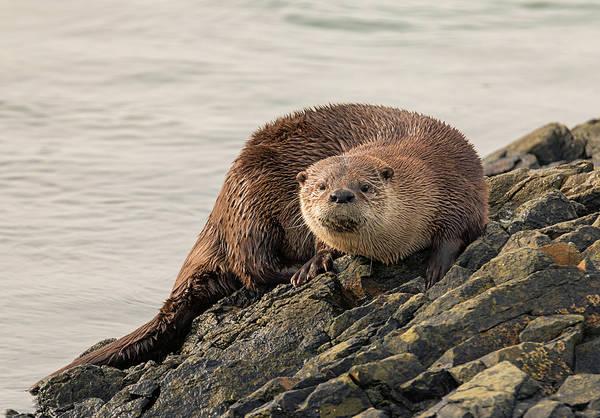 Photograph - Otter Curiosity by Loree Johnson