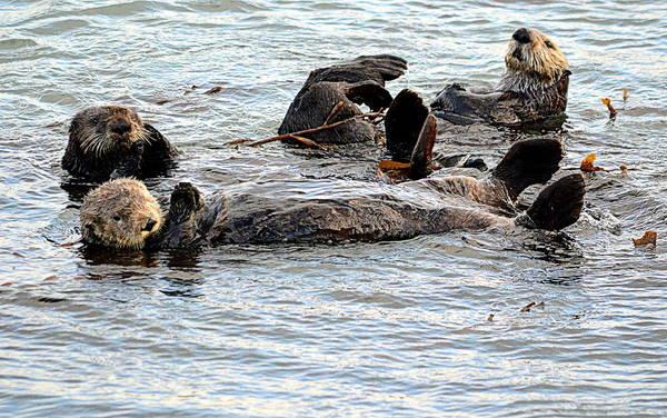 Photograph - Otter Family by AJ Schibig