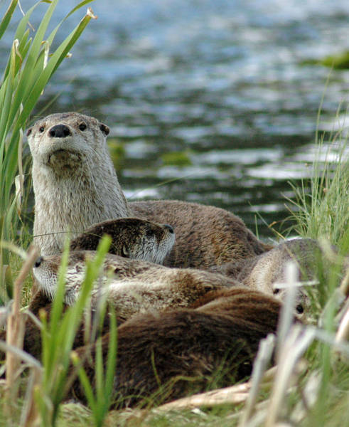 Photograph - Otter Family In Yellowstone by Bruce Gourley