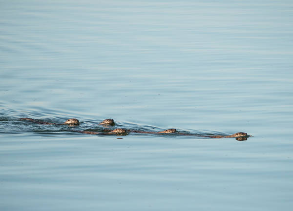 Photograph - Otter Family Outing by Loree Johnson