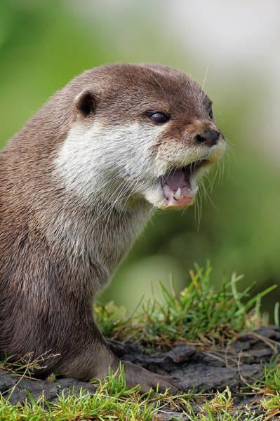 Aonyx Photograph - Otter by Grant Glendinning