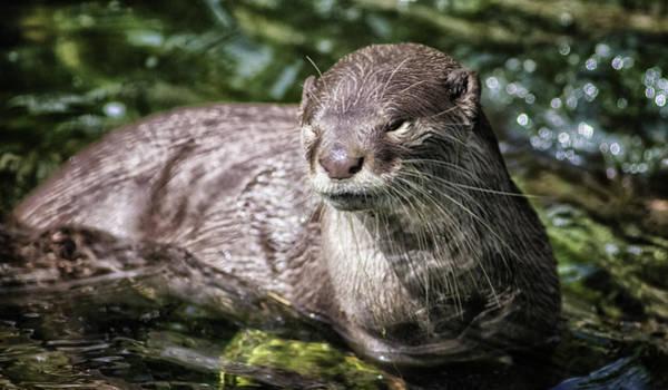 Kelp Photograph - Otter by Martin Newman