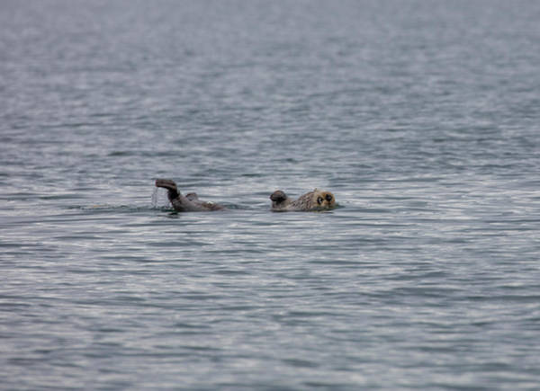 Photograph - Otter On The Bay by Gloria Anderson