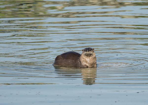 Photograph - Otter Perch by Loree Johnson