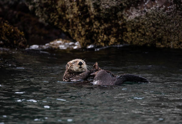 Photograph - Otter Playing In The Bay by Gloria Anderson