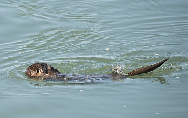Photograph - Otter Snacking by Loree Johnson