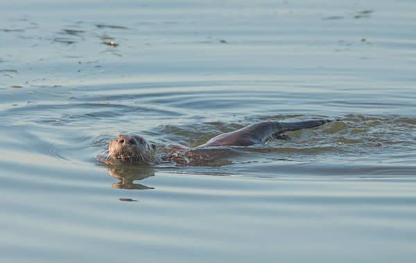 Photograph - Otter Swimming by Loree Johnson
