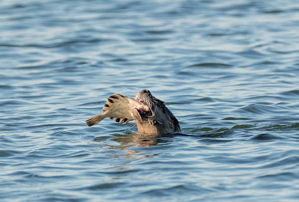 Photograph - Otter With Flounder by Loree Johnson