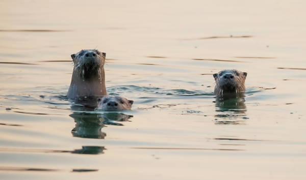 Photograph - Otters At Sunset by Loree Johnson