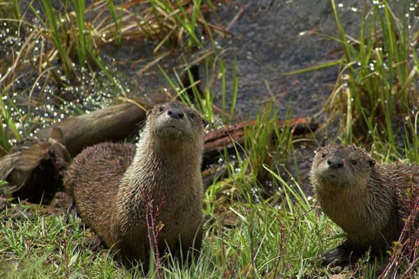 Photograph - Otters by Steve Stuller
