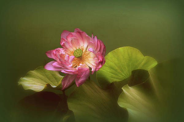 Pink Lotus Flower Photograph - Out Of The Mist by Jessica Jenney