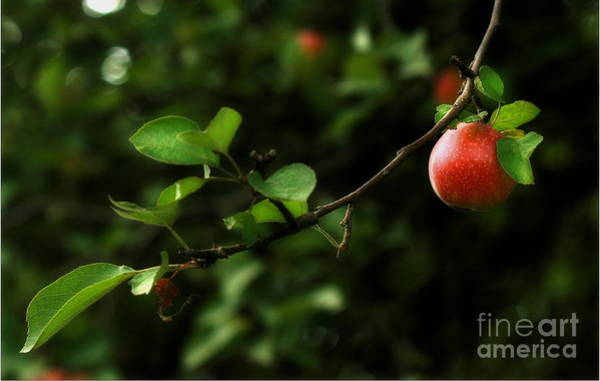 Photograph - Out On A Limb  A Tempting Photograph Of A Tasty Ripe Red Apple On A Tree  by Angela Rath