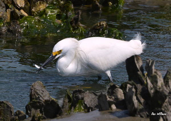 Photograph - Out To Lunch With A Snowy Egret  by Dan Williams