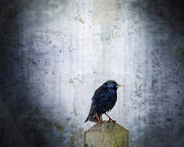 Crow Photograph - Outcast by Moon Stumpp