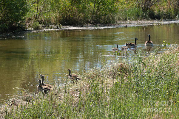 Wall Art - Photograph - Outing With The Goslings by Carol Groenen