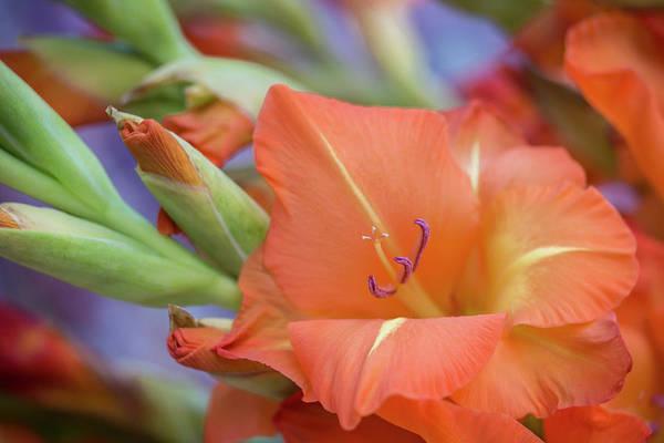 Photograph - Ovation In Orange 2 by Raelene Goddard