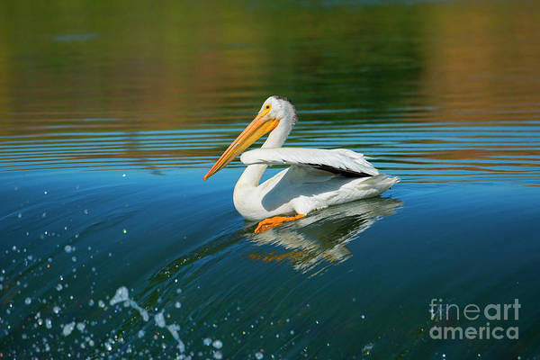 American White Pelican Wall Art - Photograph - Over The Falls by Mike Dawson