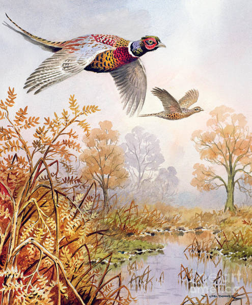 Pheasant Painting - Over The Fen by Carl Donner