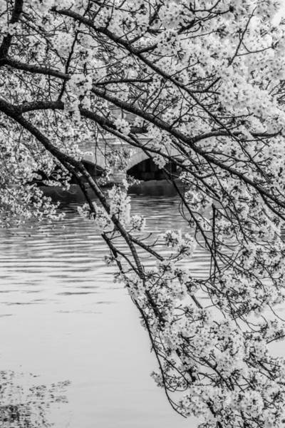 Photograph - Overhanging Cherry Blossoms by Karen Saunders