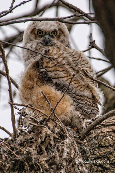 Photograph - Owl # 2 by Paul Vitko