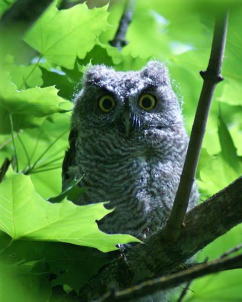 Photograph - Owl 1 by Ben Upham III