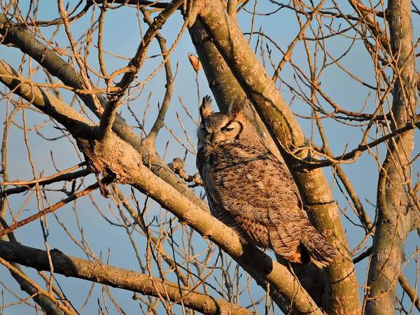 Arapahoe County Wall Art - Photograph - Owl At Sunset by Connor Beekman