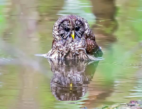 Photograph - Owl Bathing by Jim Dollar